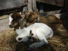 Baby Goats at Sleepy Sheep.
