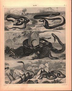 Green Ringed Snake Copperhead Cobra Boa Constrictor Antique Print 1857