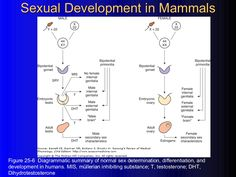 Sexual Development in Mammals Figure 25-6  Diagrammatic summary of normal sex determination, differentiation, and developm...
