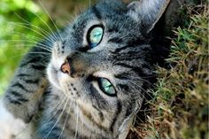 I got a Tabby! Take this quiz and find out what cat breed you are! ~ Kaitlyn aka the tabby ❤️ Warrior Cats, Warrior Cat Names, Chat Male, Tonkinese Cat, Grey Tabby Cats, Tabby Brown, Types Of Cats, What Cat, Gatos Cats