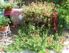 View picture of Wingpod Purslane (Portulaca umbraticola) at Dave's Garden.  All pictures are contributed by our community.