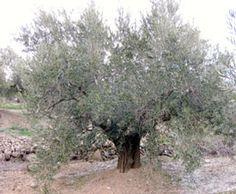 Nuestros Olivares se encuentran en la Sierra Sur de Jaén, a cotas que oscilan entre los 900 y 1200mts de altitud. Aceite de Oliva Orito es #Aceite de Oliva Virgen Extra 1ª Extracción en frío.