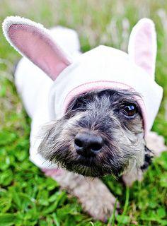 Easter Doggie (Easter Schnauzer)