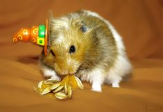 Witch hat hamster picture photos photography