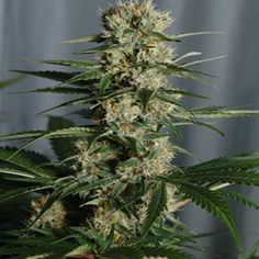 White Queen Feminized Her Royal Highness The White Queen... The Empress among the white marijuana genetics. Her rich royal fragrance…