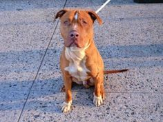 1/4/16 SL!★12/22/15 STILL THERE★Brooklyn Center SONY – A1057789 MALE, TAN / WHITE, AM PIT BULL TER MIX, 2 yrs STRAY – STRAY WAIT, NO HOLD Reason STRAY Intake condition EXAM REQ Intake Date 11/13/2015, From NY 11692, DueOut Date 11/16/2015, Urgent Pets on Death Row, Inc