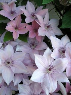 Photo of Clematis (Clematis 'Pink Fantasy') uploaded by goldfinch4