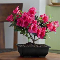 Azalea Bonsai - a romantic twist on bonsai plants  beyond lovely!