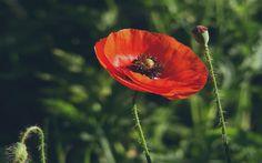 цветок, трава, цветки, Мак, красный, макро, бутоны