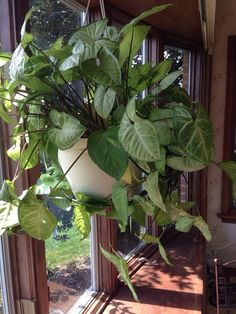 Arrowhead Vine (syngonium podophyllum): This appears to be Syngonium podophyllum, an  easy houseplant to grow. It grows best in bright indirect light and should be watered when the top half inch of potting mix feels dry.
