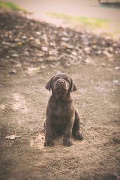 copyright LittleLif Photography/Karen Lifshey Labrador Retriever, Puppies, Photography, Labrador Retrievers, Photograph, Photography Business, Photoshoot, Fotografie, Labrador Retriever Dog