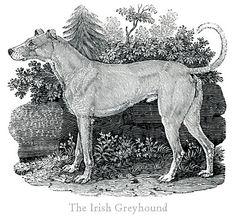 The Irish Greyhound Thomas Bewick's Dogs History Of Illustration, Illustration Art, Illustrations, Great Britain Countries, John James Audubon, Animal Drawings, Drawing Animals, Vintage Dog, Wood Engraving