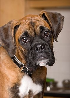 Boxer Awwww hmmmm, what an absolute gorgeous doggie.  I would love a little chat and kiss from this doll.