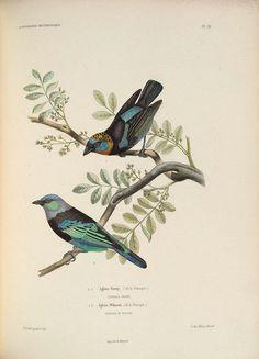 n424_w1150   Flickr - Photo Sharing!: Birds Ornithologia, Search, Animali Vintage, B Birds, Botanical Illustrations, Birds Animals Illustrations, Z W Flowers Birds Animals, Bird Illustrations, Botanicals Nature