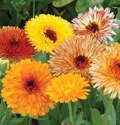 Calendula Deja Vu Mix 250 seeds  Growers Pack *** Read more reviews of the product by visiting the link on the image.