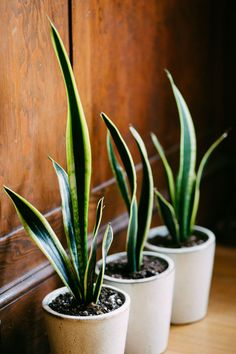 A trio of potted snake plants in a row