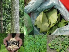 Medicinal Rice Formulations for Diabetes Complications, Heart and Kidney Diseases (TH Group-82) from Pankaj Oudhia's Medicinal Plant Database