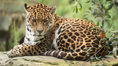 Jaguar amerykański, Skała, Gałązki