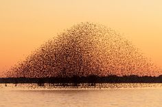 birds_redwings_late_December_12012_Guy_Livesay_Mattamuskeet_Lake_Hyde_county_NC