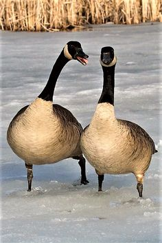 red devil canada goose