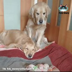 Golden Retriever Parents Watching Over Their Newborn Puppies. Golden Retriever Parents Watching Over Their Newborn Puppies. Cute Funny Dogs, Cute Funny Animals, Funny Cats, Cute Dogs And Puppies, Baby Dogs, Doggies, Newborn Puppies, Cute Animal Videos, Retriever Puppy