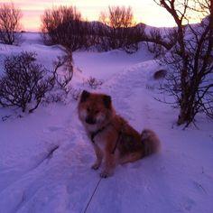 Just left my dog three days ago but I miss her so much already ❤️ ちょうど3日前ワンちゃんを残したけどもう会いたくて寂しい ❤️ #dog #eurasier #dogsofinsta #instadogs #missyou #cute #norway #winter #snow #犬 ユーラシア #ワンちゃん #愛犬 #会いたい #可愛い #ノルウェー #冬 #雪