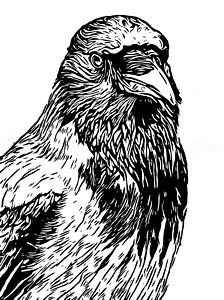 Crow Drawing - Hooded Crow Line Art Woodcut Type Illustration by Philip Openshaw Raven Pictures, Bird Pictures, Line Art Projects, Crows Drawing, Raven Bird, Type Illustration, Crows Ravens, Viking Art, Vintage Graphic Design