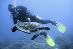 Green sea turtle and diver. Endangered green sea turtle swimming with diver , Turtle Swimming, Wildlife Park, Deep Sea, Scuba Diving, Luxury Travel, Adventure Travel, South Africa, Coast, Stock Photos