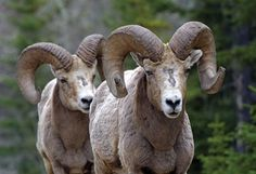 See a big horn #sheep (provincial #animal) in #Alberta