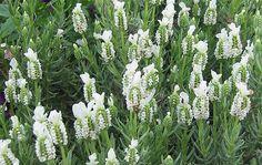 witte lavendel ....helemaal mijn ding!!  En....ruikt zoooooo zalig!!!!
