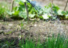 Ruohosipulia on helppo kasvattaa itse. Lue Viherpihan vinkit ja kasvata itse ihanat yrtit!