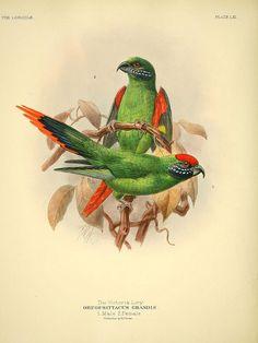 Victoria lorie, ornithological illustration