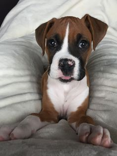 Boxer puppy- big paws lil body!