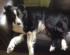 I don't think Seth believed me when I told him that while he lounges on the couch, other border collies are out herding sheep and working on farms!!! Ha ha ha!!