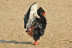 Bateleur Eagle - Afr