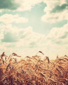 Midwest photography country fine art photograph peaceful serene vintage Illinois rural farm dreamy sky clouds gold yellow wheat field