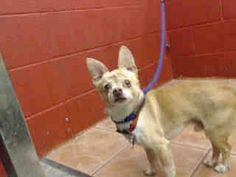 SNOOPY IS AN 8 YEAR OLD OWNER SURRENDER! HE NEEDS PLEDGES AND RESCUE! My name is Snoopy and I'm an approximately 8 year old male chihuahua sh. I am not yet neutered. I have been at the Downey Animal Care Center since March 25, 2015. I am available on March 25, 2015. You can visit me at my temporary home at D420. https://www.facebook.com/photo.php?fbid=842002799213387&set=pb.100002110236304.-2207520000.1427404550.&type=3&theater
