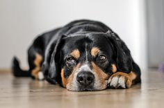When dogs are diagnosed with kidney disease, the first piece of advice given by a vet is usually to change the diet. While this is often good advice it shouldn't become a rigid regime, because as the kidney failure progresses - the diet needs to change along with it. This article explains why some things given early in the disease may not be suitable later on.