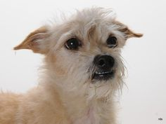 """I am a neutered male, cream Border Terrier mix.  The shelter staff think I am about 7 years old.  I have been at the shelter since Jul 24, 2014.  Shelter Staff made the following comments about this animal: Stray- Approx 7 yrs old. Came in with """"Katie"""" A059262- These 2 are very much in love with eachother. Would be great to home them together, but if not they must be adopted ..."""