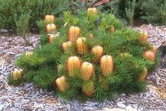 The Hairpin Banksia Banksia spinulosa is a species of woody shrub of the genus Banksia in the Proteaceae family native to eastern Australia Widely distributed it is found. Australian Wildflowers, Australian Native Flowers, Australian Plants, Bush Garden, Garden Shrubs, Garden Plants, Forest Plants, Garden Bed, Australian Garden Design