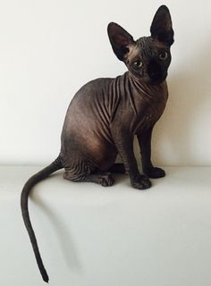 Bengal Cat Gallery - Cat's Nine Lives I Love Cats, Crazy Cats, Cool Cats, Beautiful Cats, Animals Beautiful, Cute Animals, Puppies And Kitties, Cats And Kittens, Cute Hairless Cat