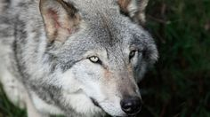 Two Species Of North American Wolf Just Disappeared Overnight