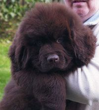 Newfoundland puppies, Newfoundland and Puppys on Pinterest