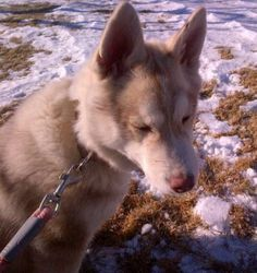 REUNITED WITH OWNERS #FOUNDDOG 1-30-14 #LEOMINSTER #MA MALE #SIBERIANHUSKY  SKY LANE 978-514-2381 https://www.facebook.com/granitestatedogrecovery/posts/10201333825219568