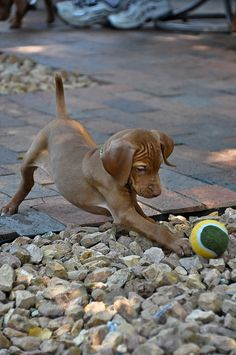 Vizsla puppy playing with a ball. I love these dogs because I hate birds! & these dogs hunt them. Weimaraner, Vizsla Puppies, Cute Puppies, Cute Dogs, Dogs And Puppies, Vizsla Dog, Baby Animals, Funny Animals, Cute Animals