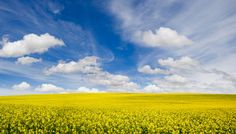 Canola field- this makes me feel happy. So bright big and yellow. A field of sunshine.