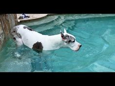 Happy Great Dane Allowed to Go For a Swim - YouTube