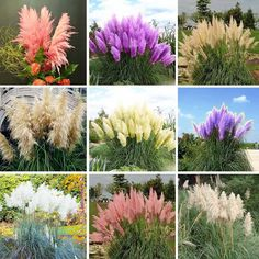 Pampas Grass Seed Patio and Garden Potted Ornamental Plants New Flowers (Pink…
