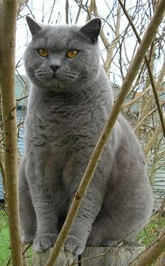 Photos and profiles of cat breeds #cats #cat breeds (Articles from MetaphoricalPlatypus.com; Photo of British Blue Cat by PrsKavka, Wikipedia)