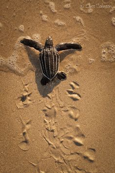 "Making tracks by Chris Johnson via 500px. ""Newly hatched leatherback sea turtle making its way to the ocean. If this turtle survives, she may return to the Florida coast to nest in 15-20 years."""